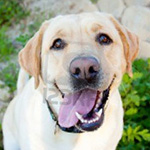 13446187-yellow-lab-smiling